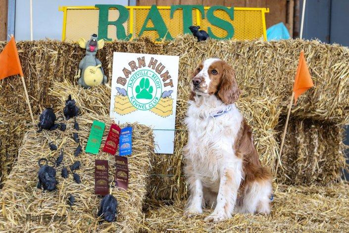 Pete's open barn hunt title April 2018